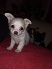 Pomchi Babys - Pomeranian x Chihuahua