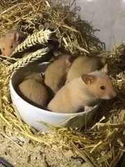 Hamster Jungtiere suchen ein Zuhause