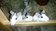 Handzahme Farb- Ratten (