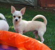 Chihuahua Junghund