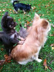 Chihuahua Hündinnen dürfen