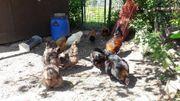 Hühner Hennen Legehühner