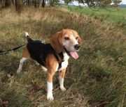 Beagle BILLY - the kid