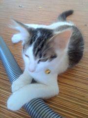 Turkisch van turkisch angora kitten