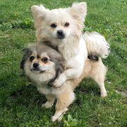 STELLA & ARYA (Pekinese-