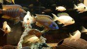 Malawi Barsche Buntbarsche alunocara Aquarium