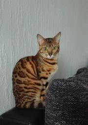 Wunderschöne reinrassige Bengal Katze mit