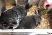 Zwei Chinchilla Weibchen