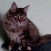 Marlene - Norwegische Waldkatze