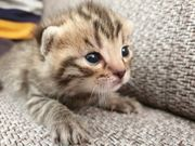 Bengal BKH Mix Kitten Katze