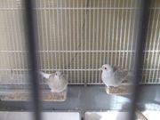 Diamanttäubchen Tauben