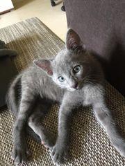 Russisch Blau Kitten,