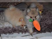 Süße Pomeranian Zwergspitz Welpen