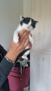 BKH Britisch Kurzhaar SF Katzenbabys