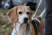 Nina liebeswertes Beagle Mix Mädchen