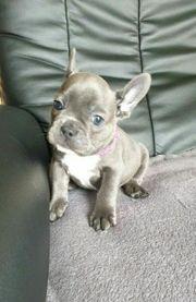 Französische Bulldoggen Welpen Blau