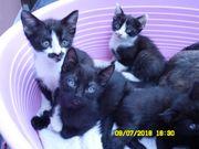 Vier süße Kätzchen.