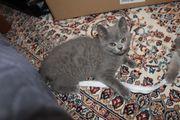 BKH Katze grau