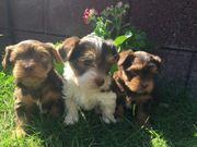 süße Yorkshire Terrier