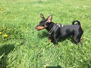 Mini Pinscher Dobermann