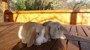 Zwergkaninchen Zwergwidder mehrfarbig Wildfarbig Kaninchen