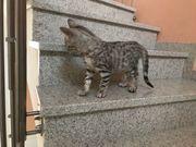 Bengal Kitten reinrassig Nur noch