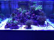 Meerwasser Korallenableger SPS LPS Steinkorallen