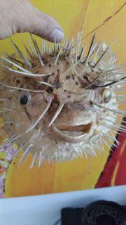 Kugelfisch, getrocknet