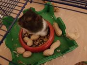 Teddy Hamsterbabys