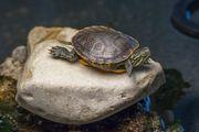 Junge amerikanische Zierschildkröte