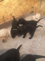 5 schwarze Labrador Welpen in