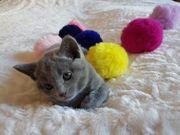 Russisch Blue Kitten mit Stammbaum
