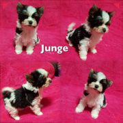 Mini Biewer Yorkshire Terrier Welpen