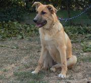 Zora - 8 Monate alt Schäferhund-Labrador-Mischling