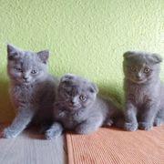 Britisch Kurzhaar Kätzchen Katzenbabys 2