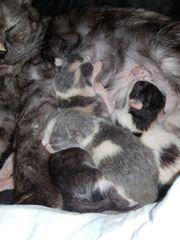 Süße Persermix Kitten