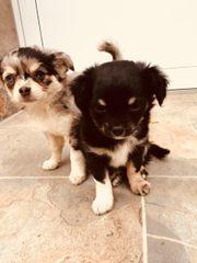 Chihuahua Welpen aus