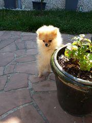 Mini Pomeranian Zwergspitz Welpe
