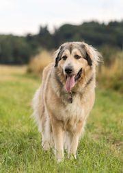 Wurfankündigung Leonberger Pyrenäenberghund mux