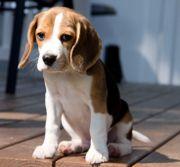 Kernige Beagle Welpen