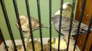 Gloster Kanarienvogel