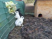Junge Kaninchen aus Freiland und