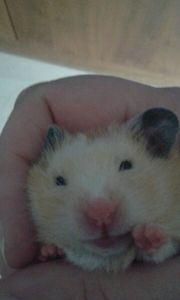 Gold hamster Babys