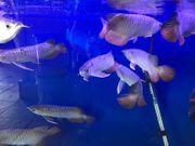 Beste Qualität Arowana Fisch zu