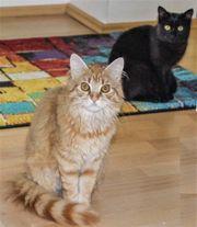 Katzenpärchen - Kater und