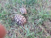 2 griechische Landschildkröten Testudo hermanni