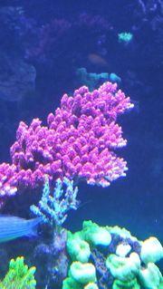 Acropora Hyacinthus, Korallenableger,