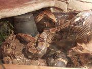 ENZ Boa Constrictor