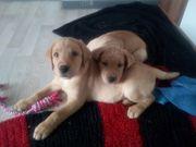 Wunderschöne Labrador Welpen aus Hobbyzucht