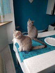 BKH Katzenpaar 12Monate
